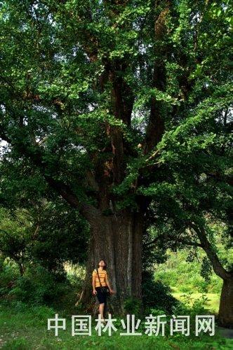 西永丰发现一棵千年银杏树
