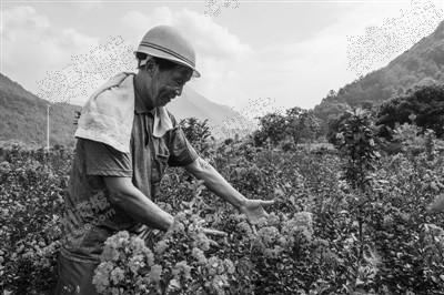 78岁永嘉老人种出16亩浪漫紫薇花