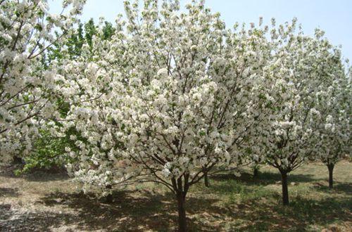 八棱海棠树的种植方法