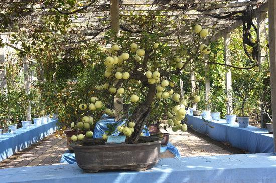 分别展出梨,桃,苹果,猕猴桃,山楂等多重各式盆栽果树3000余盆景和部分