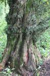 江西:南宋时期栽种罗汉树现身宜丰 已有800多年历史