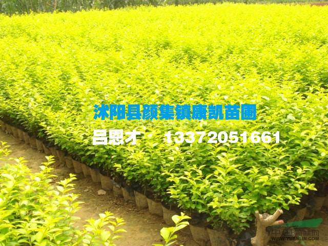 江苏沭阳:红叶小檗供应断货 金叶女贞、火棘销量走好