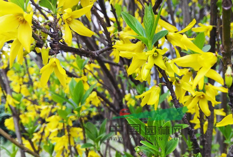 彩铅喇叭花卉步骤图片