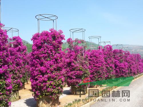 云南首个三角梅主题花海文化展示园惊艳亮相
