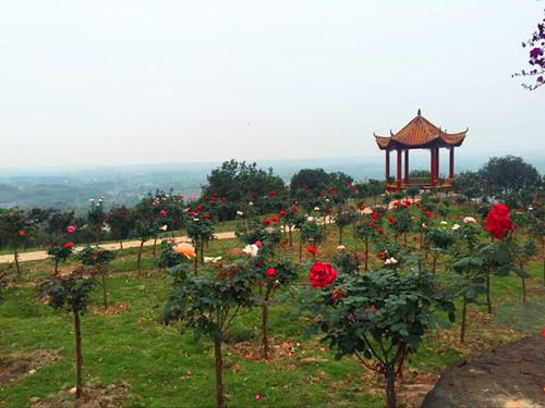 西部首届三角梅暨玫瑰花树展开幕