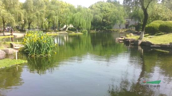 宁波月湖公园:黄菖蒲盛开得金灿耀眼