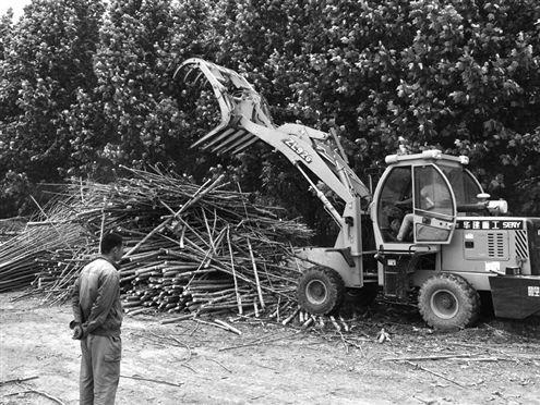 """那些曾经的""""摇钱树"""",被砍掉树根,去掉枝桠树叶后,被以柴火价收购."""