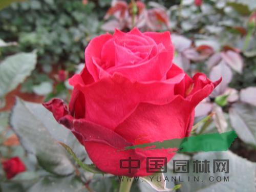 云南8个月季新品种通过初审