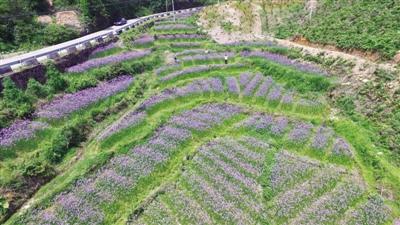 温州文成县:花海扮靓梯田 紫色马鞭草盛放正当时