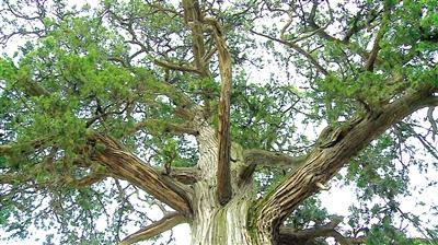 河南中牟县姚家镇两株古树枝繁叶茂 树龄达1100年