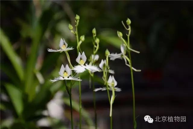 白鹭草种子图片