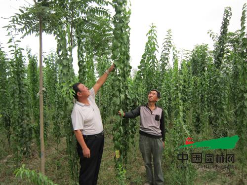 河北献县:高干丝棉木前景好