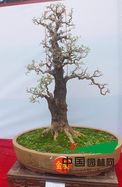 云南红河盆景艺术展启幕 乡土树种同台媲美唱主角
