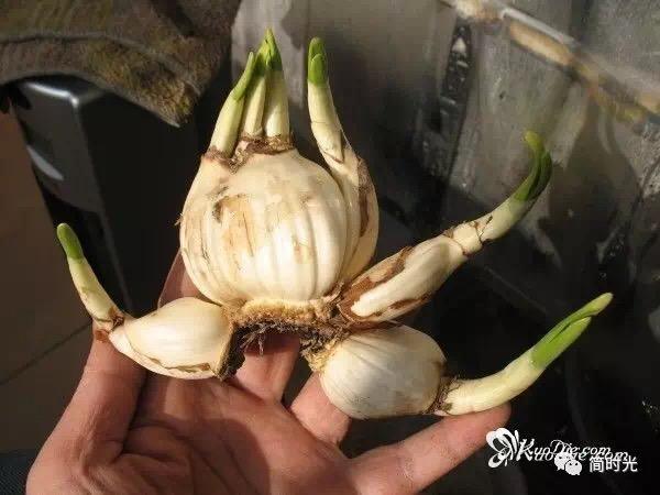 图解:水仙花球雕刻的基本方法