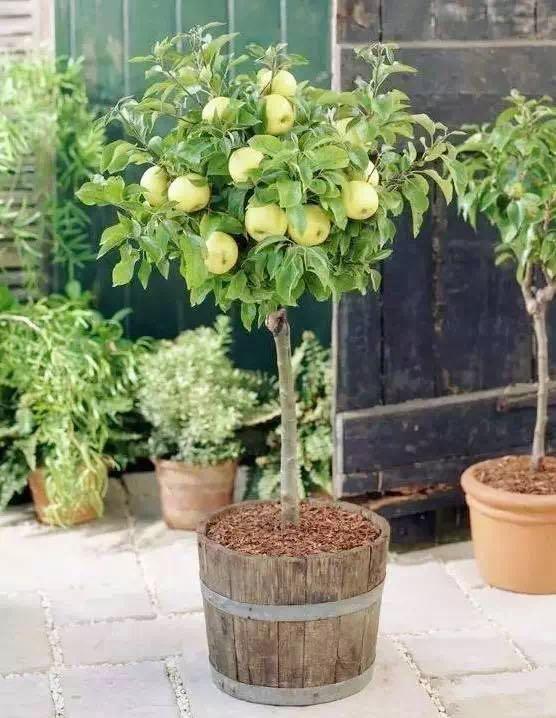盆栽DIY:自制水果盆栽简直又好看-盆景奇石