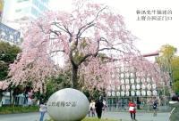 去日本就为了看樱花?别傻啦 中国很快就有更好的了!