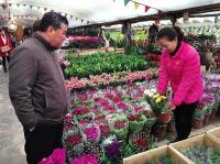 """西安花卉市场持续""""升温"""" 日销售额两三千万"""
