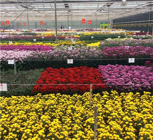 北方菊花栽培技术交流会在凌源市召开