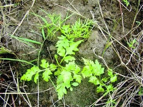 国家二级重点保护植物重现湖北洪湖