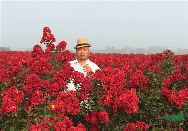 三红紫薇 不是卖不好而是买不到