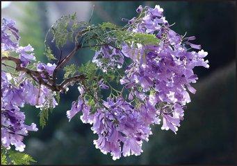 蓝花楹的繁殖及养殖方法