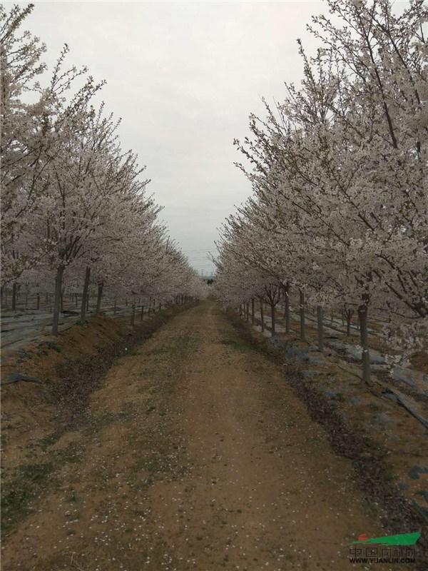 徐明华:樱花市场回暖