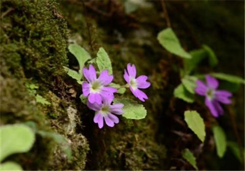 彭州首次发现新物种 命名为彭州报春