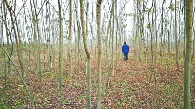 武汉:农民盲目投资种树苗吃大亏