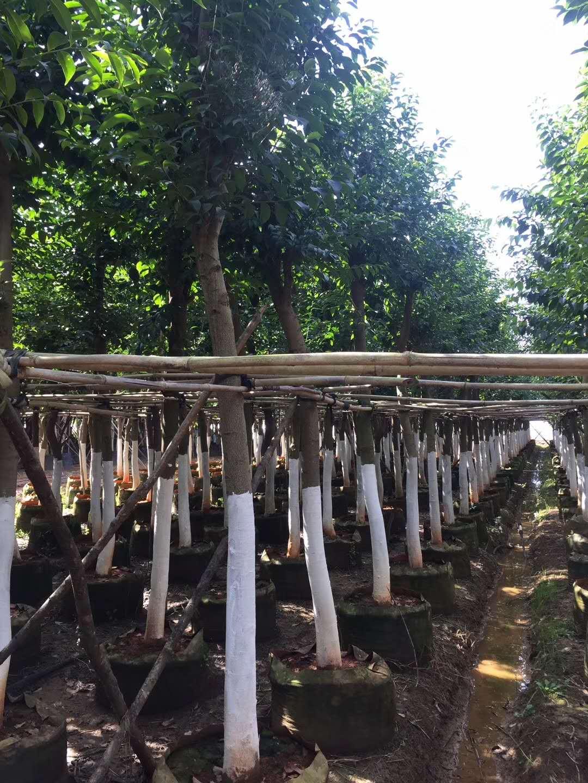 肋果茶 2017年推荐的珍贵行道树种