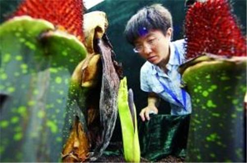 牛夏:巨魔芋首开中国 实现几代人的梦想