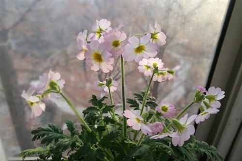 濒危植物羽叶报春 首次在西安开花