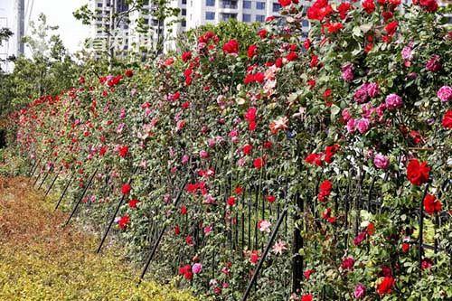 """""""月季路""""入选上海绿化特色道路名单"""