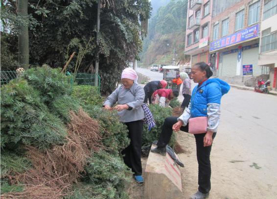 广西:那坡群众造林积极性高杉木苗热销