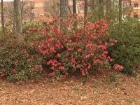 奥古斯塔反季节温暖惹大祸 球场内鲜花提早开放