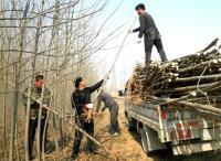山东郯城:苗木种植产业兴 专业队伍应运生