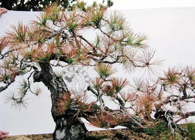 盆景养护:赤松立枯病的防治