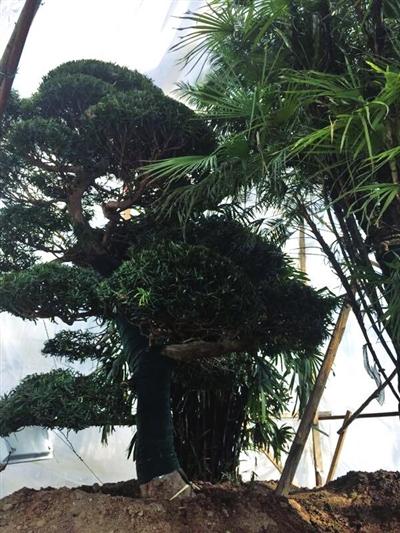 宁夏:6棵热带树在花博园成功越冬