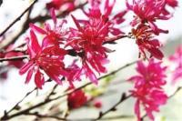 福州国家森林公园可观赏珍稀品种菊花桃