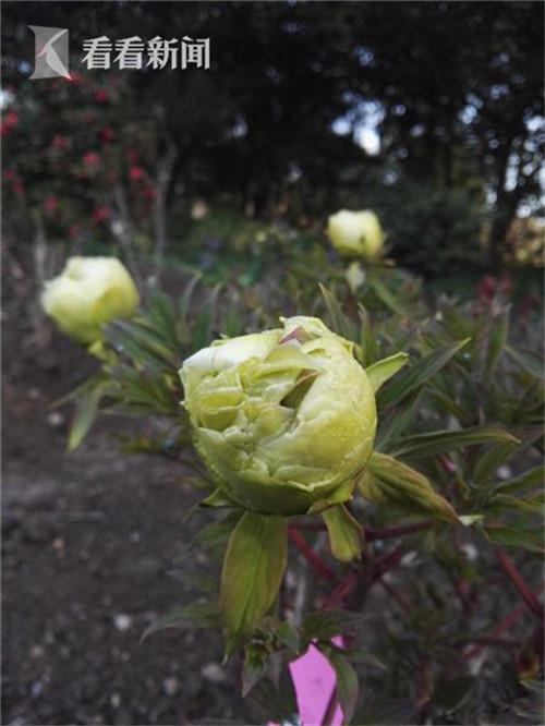 上海植物园牡丹已绽放 花期较往年提早一个月