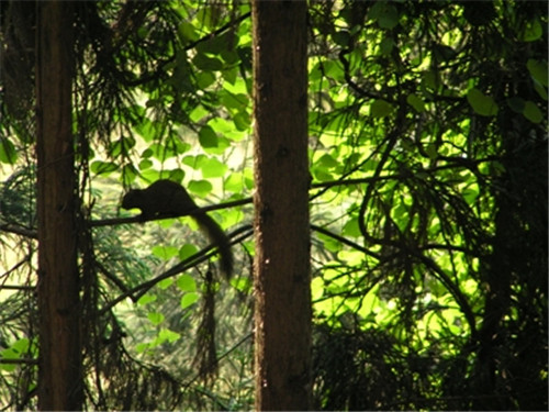 四川人工林松鼠泛滥成灾 人们在制造一场新的生态失衡