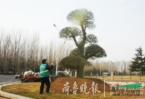 绿化养护:烟台为名贵树种喷药防病虫 为期15天左右