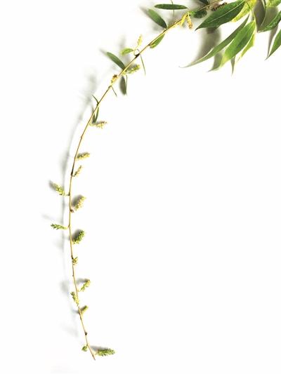 柳树的结构分布图