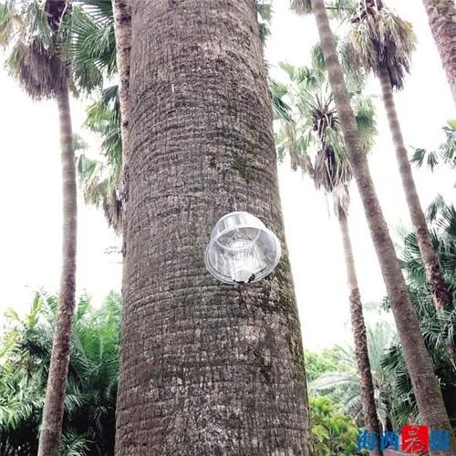 """厦门:园林部门""""以虫治虫"""" 防治棕榈科植物病虫害"""