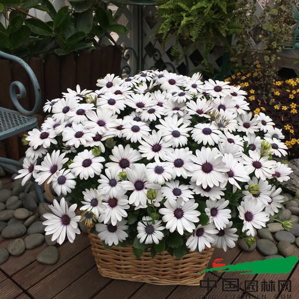 适合秋冬天种植,春天开花.喜冷凉,生长适温5-26℃ 喜阳.