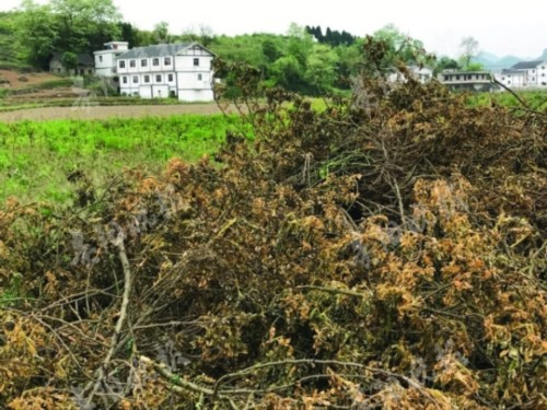 遵义万亩玫瑰成烂尾项目 千亩玫瑰花烂在枝头