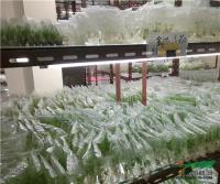 海南热研所创新三角梅组培技术实现节能增效