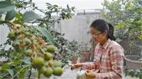 浙江:宁波培育出家庭盆栽蓝莓