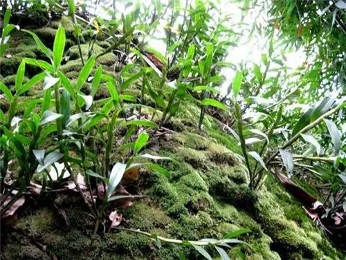 石斛为附生植物.图片