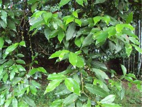 猪血木正濒临灭绝 专家呼吁更新野生植物保护名录