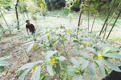 """福建永安:林下套种珍贵植物""""黄花远志"""""""